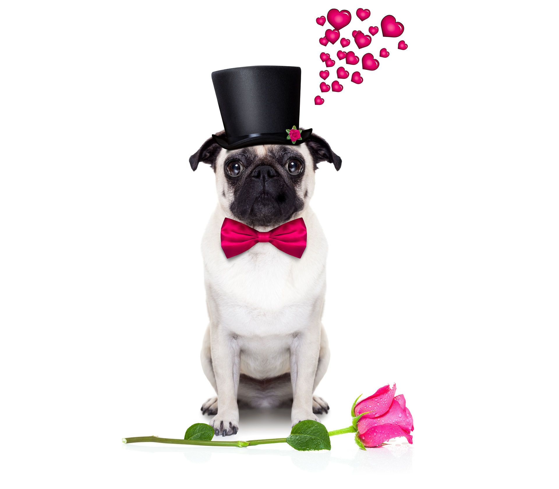 Valentine's Day Wallpaper Pug. Wallpapers Of Cute Dogs And