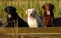 Wallpapers the Labrador Retriever