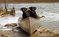 Labrador Retrievers in the boat